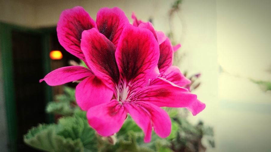 Flowers MyHOUSE Z1s XPERIA Pink Flower