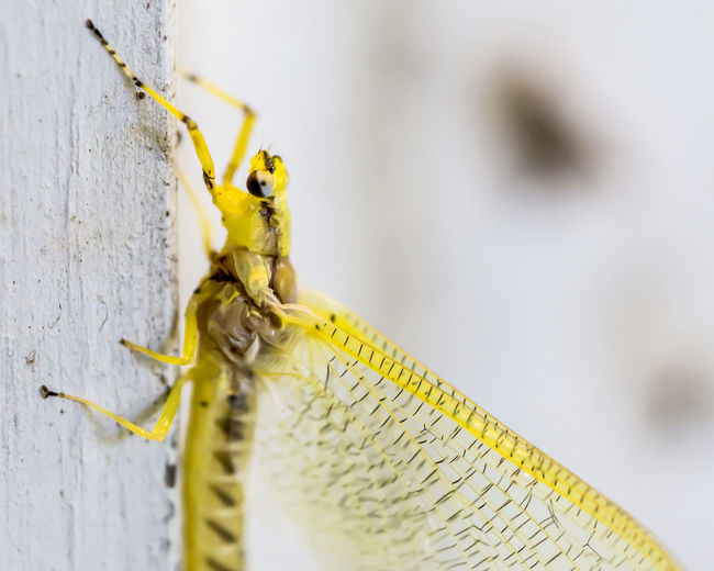 Bright yellow mayfly - Hexagenia Extreme Close-up Hexagenia Insect Insect Photography Insects  Macro Macro Beauty Macro Insects Macro Nature Macro Photography Macro_collection Mayfly Nature Vibrant Color Yellow Yellow Color Maximum Closeness