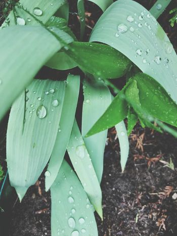 Drop Leaf Wet Plant Part Water Growth Plant Outdoors Freshness Day Close-up Rain RainDrop Nature Green Color Rainy Season No People Beauty In Nature Dew Purity