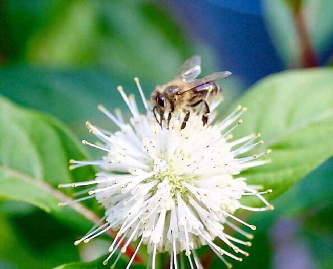 ... Kleines Bienchen auf dem Sternenzauberstrauch ...🐝🐝🐝 Bienen Bei Der Arbeit Bee Bee 🐝 Taking Photos Summer ☀ Selective Focus Summer Summer Views Tiere/Animals Sommer Sonne Sonnenschein ❤ Bieneaufblume🌾 Hallo World Enjoying Life Insekt On Flower Good Morning Guten Morgen