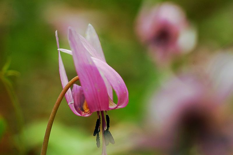 また、来年。 Bokeh EyeEm Nature Lover 春 Spring Japan Spring Time Colors Bokeheffect Pink Spring Colours Fleshyplants Flowers かたくり 山野草 Flower Collection Macro Nature Wildflowers