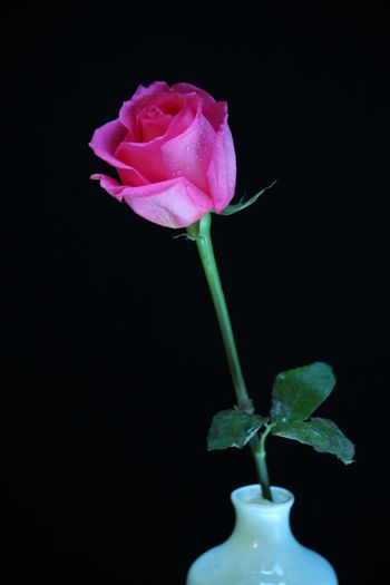 Rose Flower Closeup Beauty In Nature Black Background Blooming Close-up Day Flower Flower Head Fragility Freshness Growth Leaf Nature No People Outdoors Petal Pink Color Plant Rose - Flower Stem Studio Shot