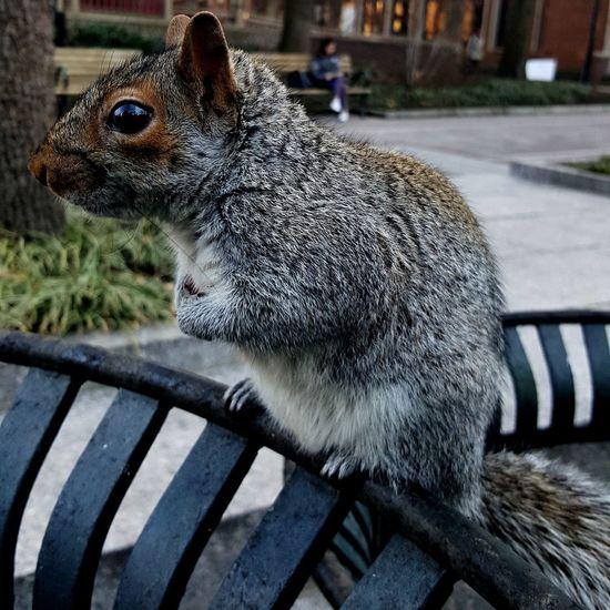Squirrel Squirrelsofinstagram Fauna Rodent Wildlife Fur Mammal Fluffy One Animal University Campus Upenn The Week On EyeEm Pet Portraits EyeEmNewHere