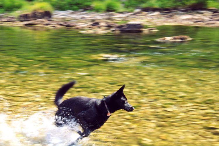 Dog running in lake