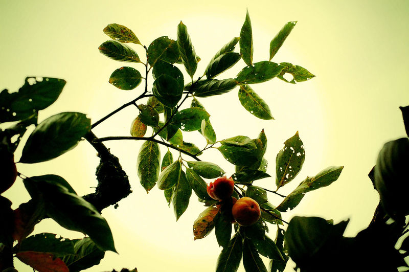 Close-up of red berries on plant against sky