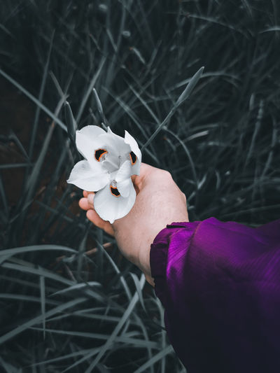 A hand holding a white fortnight lily flower and the grass under it