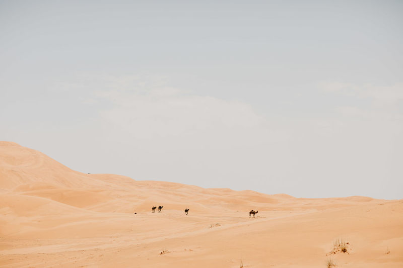 Camels Walking On Sand At Desert