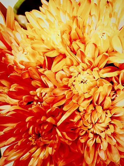 Orange Flower Halloween Chrysanthemums Fall Season Tangerine Color Flower Boquet Beauty In Nature Freshness Flower Yellow Selective Focus Full Frame Vibrantcolors Iphone6plus First Eyeem Photo Bloom Flower Head