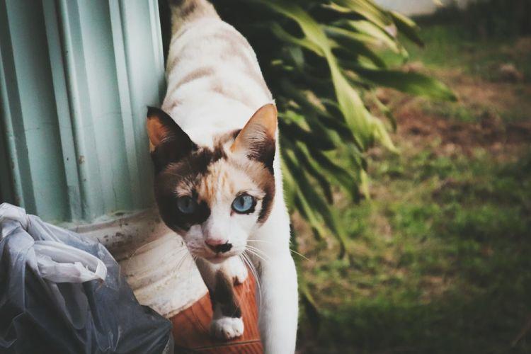 มาแบบเท่ๆ Pets Portrait Feline Domestic Cat Sitting Looking At Camera Protruding Puppy Beauty Tabby Cat Stray Animal Maine Coon Cat Cat Ginger Cat Siamese Cat Tabby