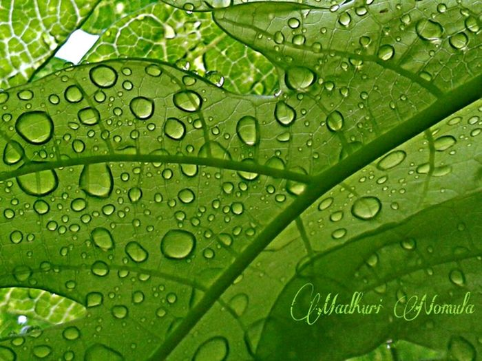 Rain drops on leaves captured from under the leaf..☔🌿 Rain Raindrops Mobile Photography Leaves Rain Drops On Leaves Green Rainy Days Rain Photography Showcase June