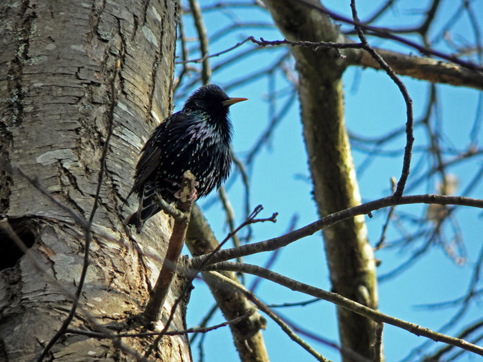 Starling Bird Black Bird Perching On Branch Side With Tree Low Angle View Bird Photography