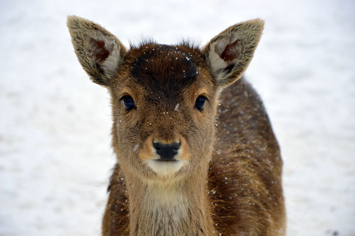 Baby Brown Eyes EyeEmNewHere Snow ❄ Winter Animal Themes Animal Wildlife Animals In The Wild Close-up Cold Temperature Cute Day Deer Eyelashes Looking At Camera Mammal Nature No People Olefingirl One Animal Outdoors Portrait Snow Sweet Winter