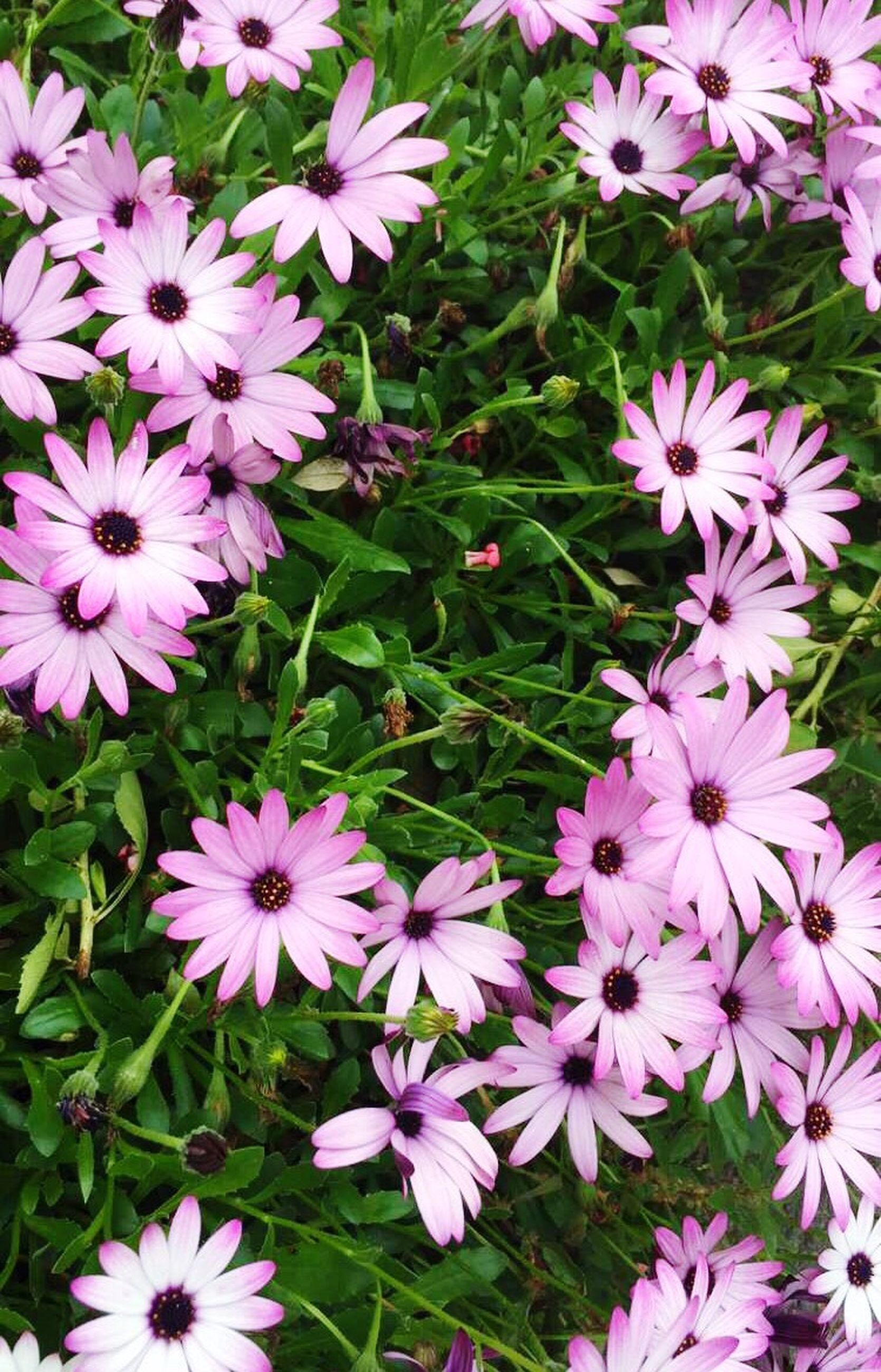 flower, freshness, fragility, petal, growth, beauty in nature, pink color, flower head, blooming, nature, plant, high angle view, in bloom, close-up, purple, field, pink, park - man made space, blossom, no people