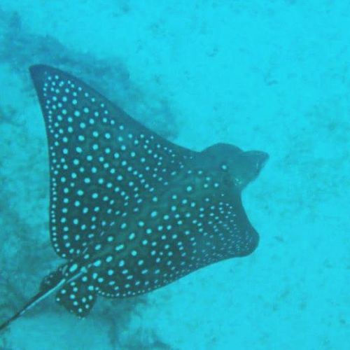 Eagleray Galapagos Underwaterphotography