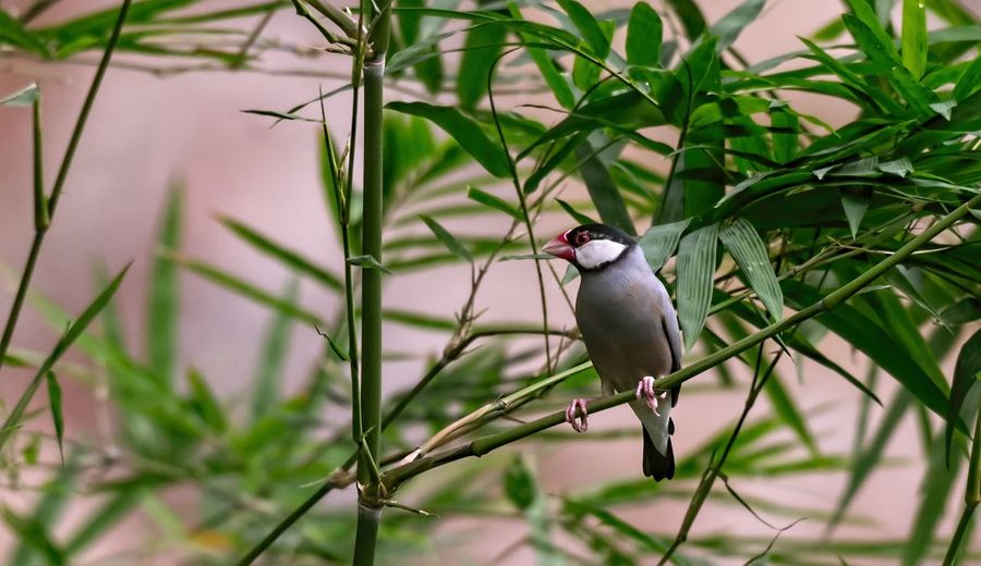 Java Sparrow Vertebrate Bird Animal Themes Animal Animal Wildlife One Animal Animals In The Wild Perching Plant No People Green Color Nature Day Branch Focus On Foreground Tree Outdoors Close-up Plant Part Growth