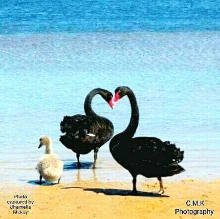 Love this shot i took at random on my samsung s2 mk2 smartphone .... black swan's with baby signet. captured at lakes entrance victoria 3909 Australia .... Australias beauty in nature at it's absolute best !!!! Sand Waterfront Ocean Ocean View Oceanside Black Black Swan Swan Swanfamily Australian Australian Landscape Australia & Travel Beachphotography Beach Lovephotography  Lovelife Loveheart Love❤ Lovelovelove Loveheart Shape Love It EyeEm Nature Lover Eye4photography  EyeEm Best Shots EyeEm Gallery EyeEm Selects EyeEmBestPics EyeEm Eyeem Market Eyeemmobilephotography EyeEm The Best Shots Eyeemgetty Mobilephotography Love Hearts Getting Ready Mobilephonephotography Getting Creative Bird Animals In The Wild Water Animal Wildlife No People Animal Themes Nature Day Black Swan Outdoors Colour Your Horizn