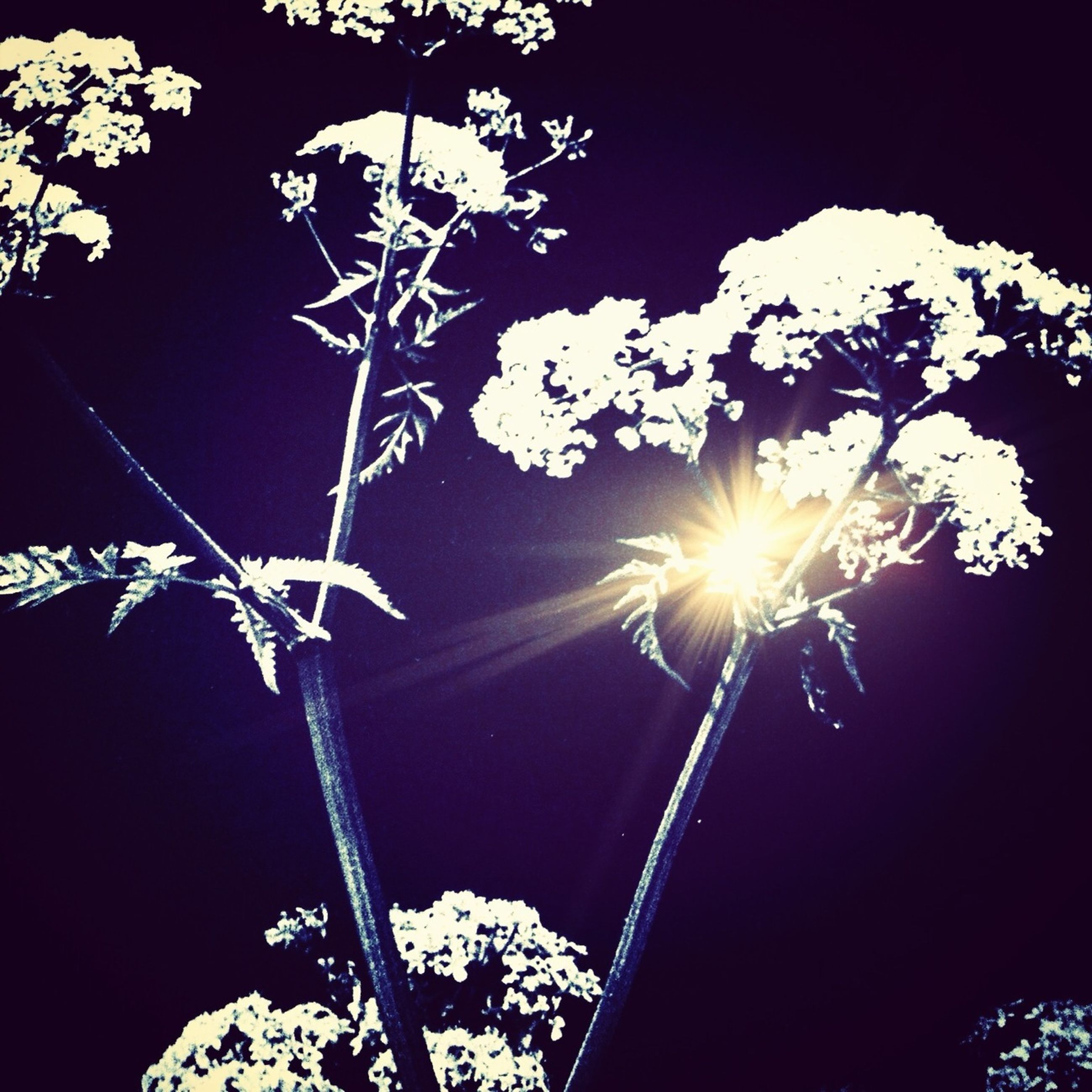 low angle view, night, flower, tree, beauty in nature, nature, branch, growth, sun, sunlight, illuminated, clear sky, close-up, glowing, plant, sunbeam, sky, lens flare, outdoors, no people