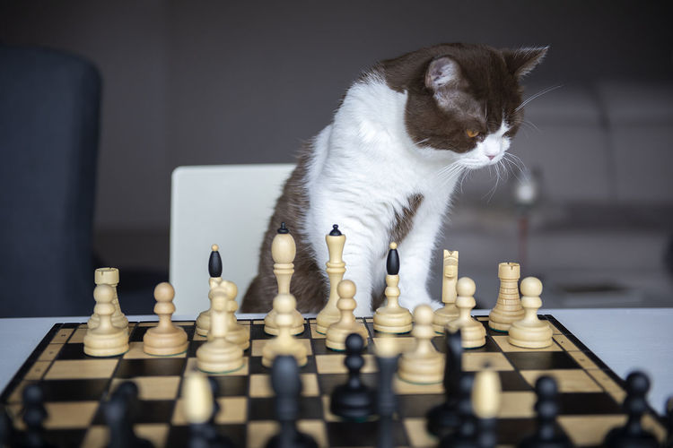 A serious cat is playing with me in a chess at house during the quarantine of the coronavirus