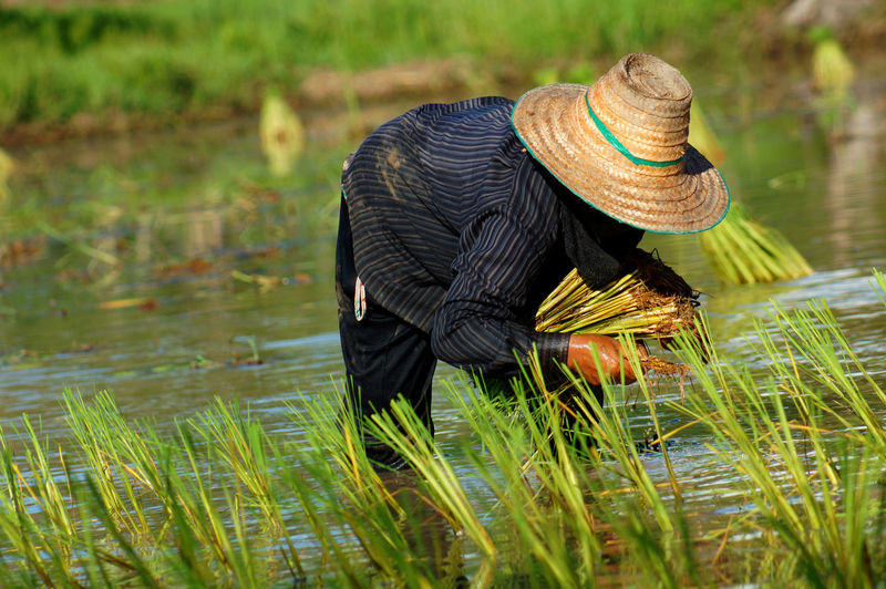 Farmer Harvesting Rice From Field