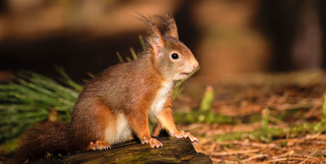 Red Squirrel Nature Nature On Your Doorstep Red Squirrel Squirrel Squirrel Park WoodLand Animal Themes Animal Wildlife Animals In The Wild Close-up Cute Day Focus On Foreground Formby Furry Mammal Nature No People One Animal Outdoors Rodent Squirrel