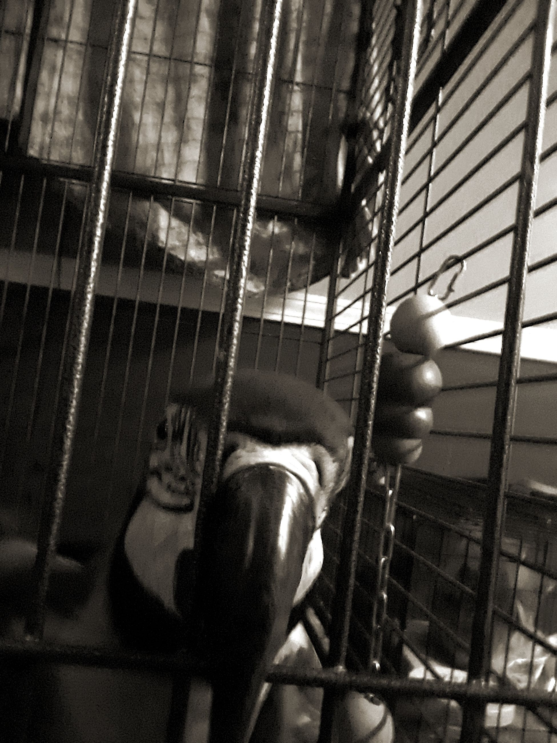 animal themes, one animal, cage, trapped, animals in captivity, indoors, hanging, no people, pets, mammal, bird, architecture, day, close-up