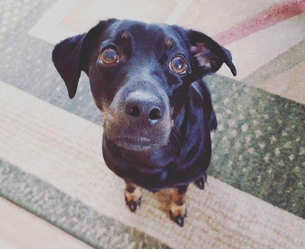 Maja Dog Dogsofinstagram Dogmodel Pies