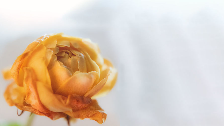 Close-up of yellow rose flower