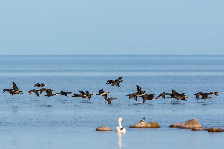 Flock of birds in sea against clear sky