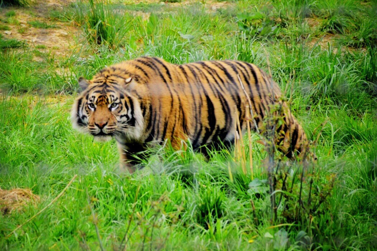 one animal, tiger, animals in the wild, grass, animal wildlife, animal themes, outdoors, nature, day, no people, safari animals, mammal