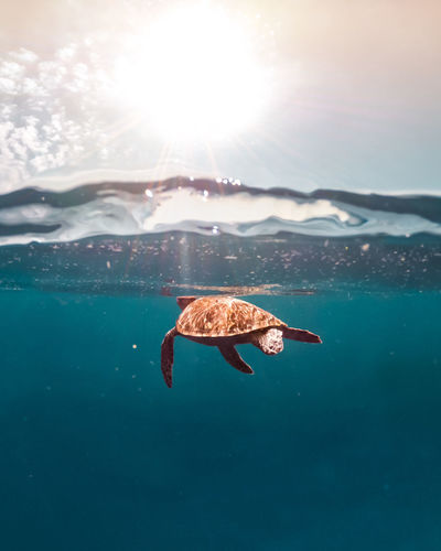 Wild life turtle swimming in tje blue ocean, over under