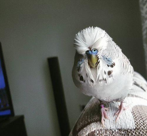 Banyo sonrasi.. Kus Jumbo Muhabbet Muhabbetkusu Budgie Bird
