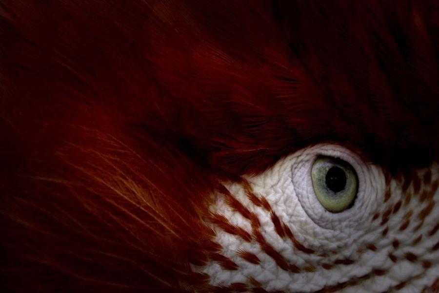 A beautiful deep red Macaw giving me the evil eye. Animal Body Part Animal Head  Animal Themes Bird Bird Eye Close-up Evil Eye Eye Feather  Green Eye Macaw Nature No People One Animal Outdoors Parrot Parrot Eye Red Feathers Red Macaw Red Parrot EyeEmNewHere