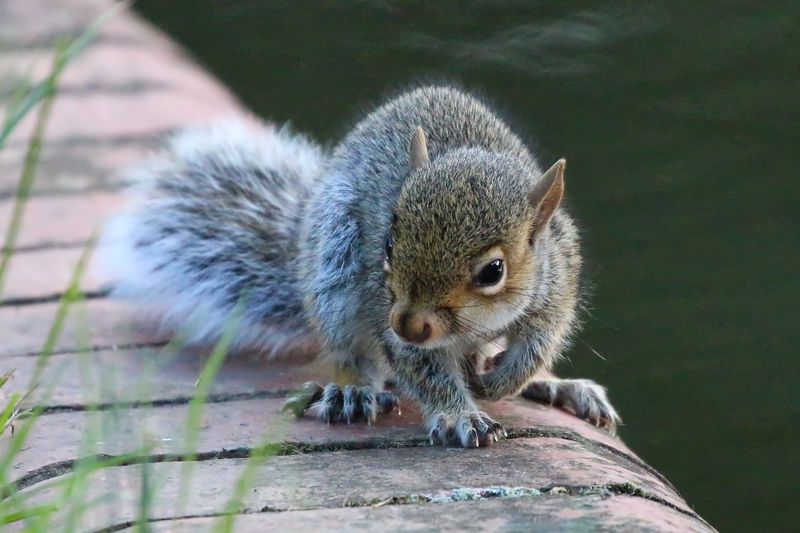 Close-Up Of Gray Squirrel By Canal