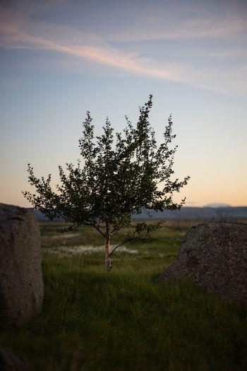 iceland - tree