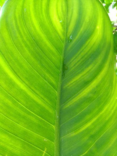 Leaves green EyeEm Nature Lover Showphotography Leaf Backgrounds Banana Leaf Full Frame Close-up Plant Green Color Leaf Vein Water Drop Leaves Dew Photosynthesis Palm Leaf Natural Pattern RainDrop Droplet