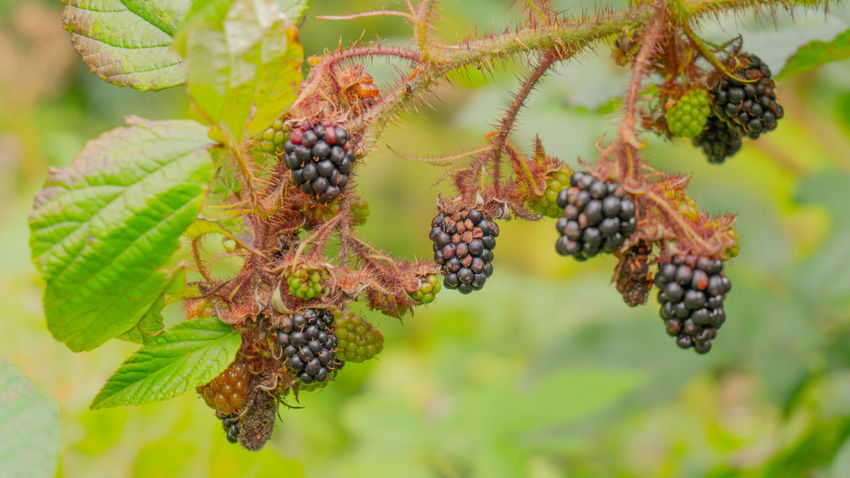 Beauty In Nature Berry Fruit Food Fruit Green Color Healthy Eating Nature Outdoors Plant Wellbeing