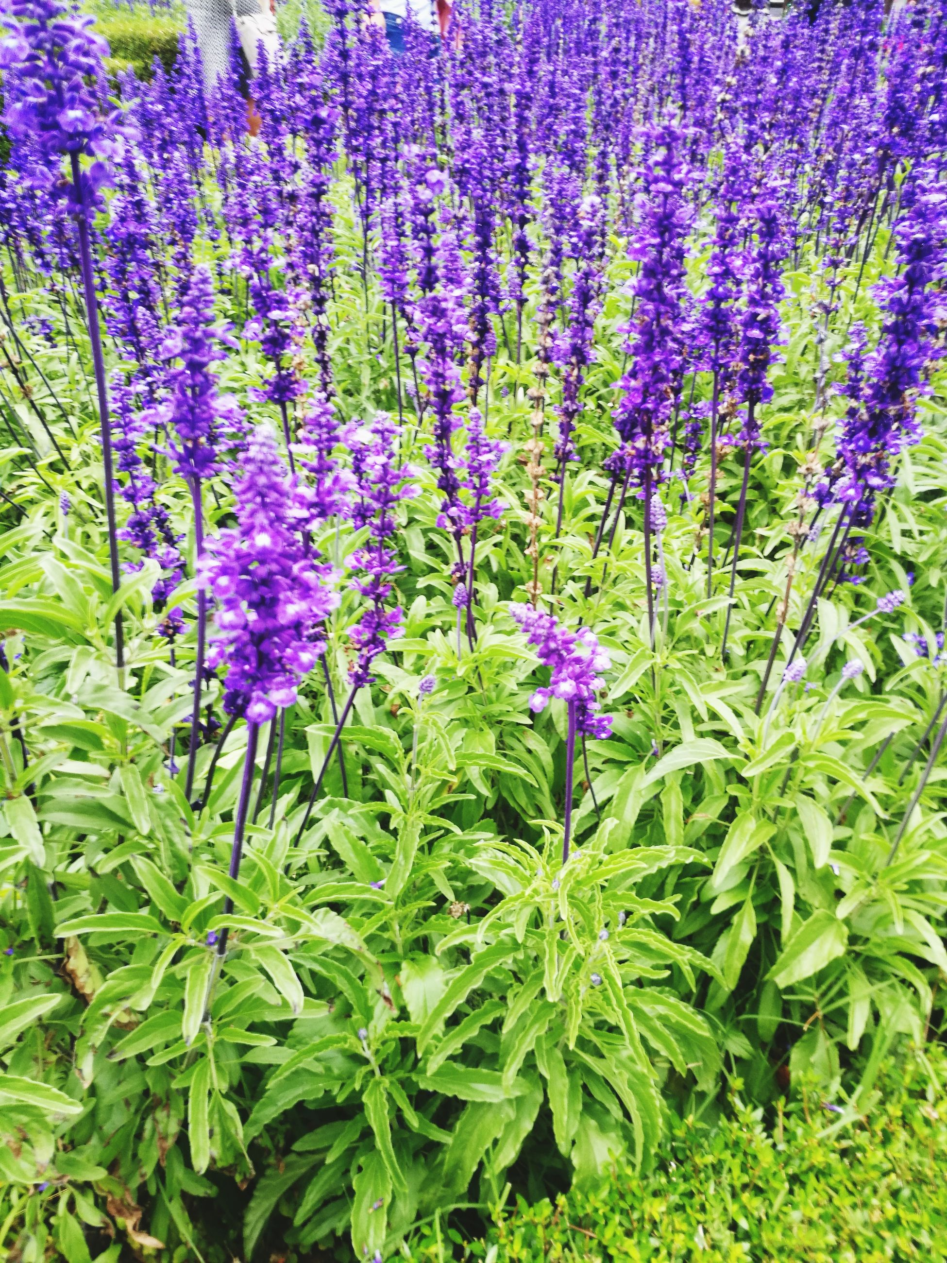 purple, flower, nature, growth, plant, beauty in nature, green color, lavender, no people, leaf, herb, scented, outdoors, freshness, fragility, day, herbal medicine, close-up, flower head