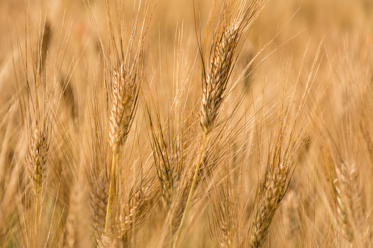 Backgrounds Beauty In Nature Cereal Plant Close-up Crop  Day Detail Field Focus On Foreground Full Frame Grass Growing Growth Idyllic Landscape Nature No People Outdoors Plant Rural Scene Scenics Selective Focus Tranquil Scene Tranquility Wheat