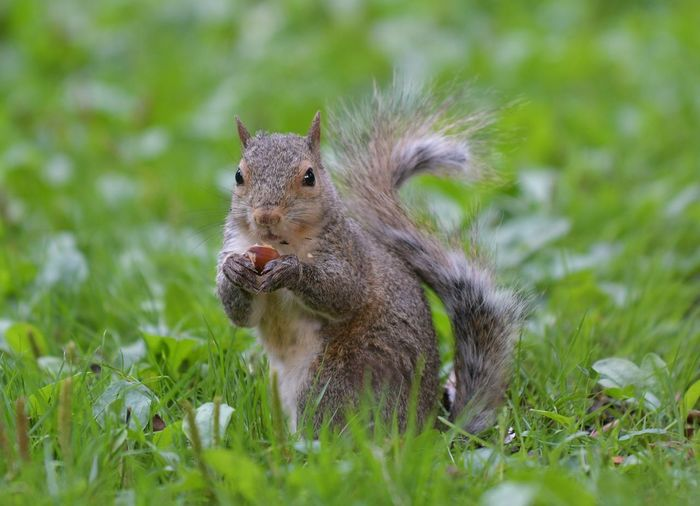 Close-up of squirrel eating nut on grass
