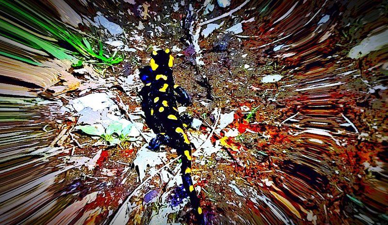 Paint The Town Yellow Nature EyeEmNewHere Salamander Lizard Stregasalamandra Black&Yellow Aduepassidacasa
