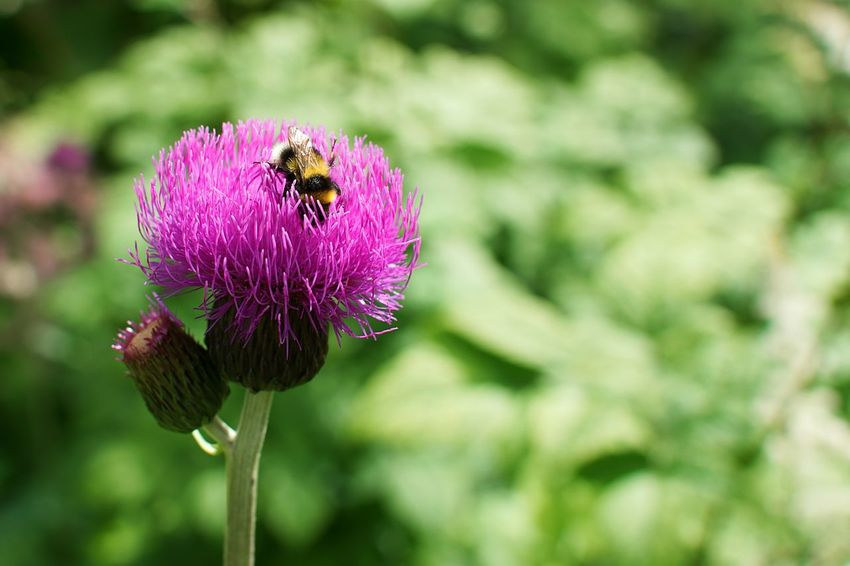 Flower One Animal Insect Purple Animal Themes Fragility Animals In The Wild Focus On Foreground Nature Growth Beauty In Nature Bee Petal Plant Freshness Day Outdoors Animal Wildlife No People Flower Head
