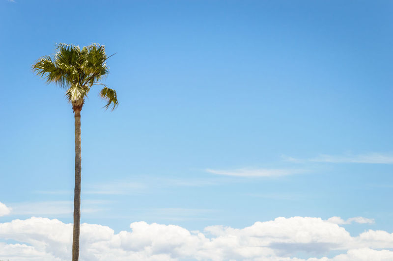 Low angle shot of palm tree against blue sky with a bottom line of clouds Beauty In Nature Blue Blue Sky Clouds Clouds And Sky Day First Eyeem Photo Holiday Holidays Idyllic Low Angle View Nature Non-urban Scene Outdoors Palm Palm Tree Palm Trees Summer Sunny Tranquility Travel Traveling Tree Trees White