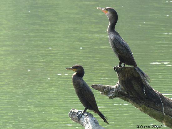Animal Themes Animal Wildlife Animals In The Wild Bird Cormorant  Day Duck Ducks Nature No People Outdoors Patos Patos Tunco Perching Water
