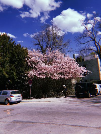 View of cherry blossom trees by road