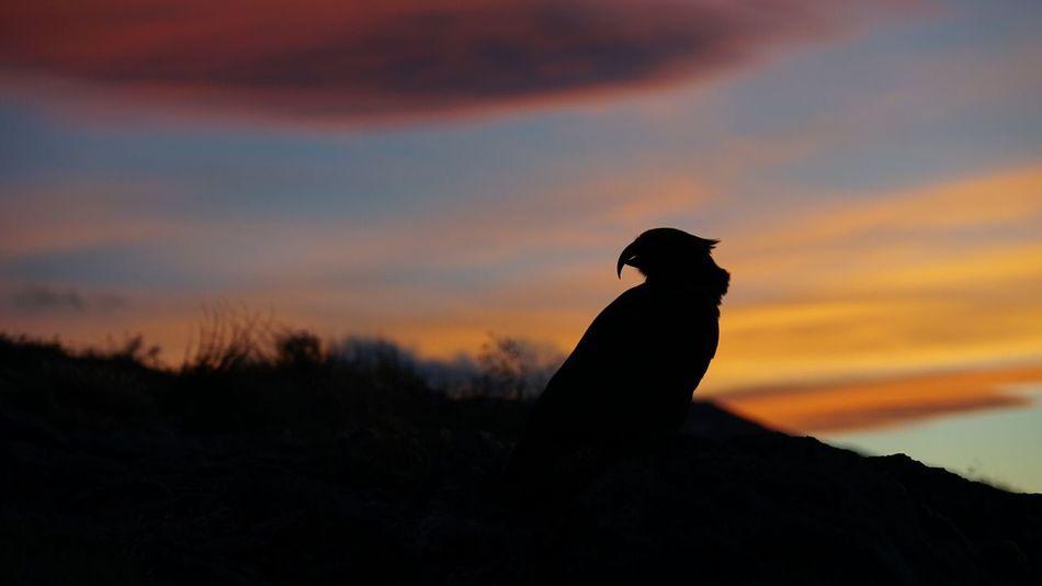 Sunset Silhouette Bird Kea Beauty In Nature Outdoors Mount Aspiring National Park New Zealand Native Birds