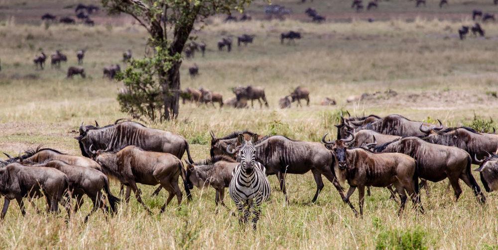 Zebra and wildebeests on landscape