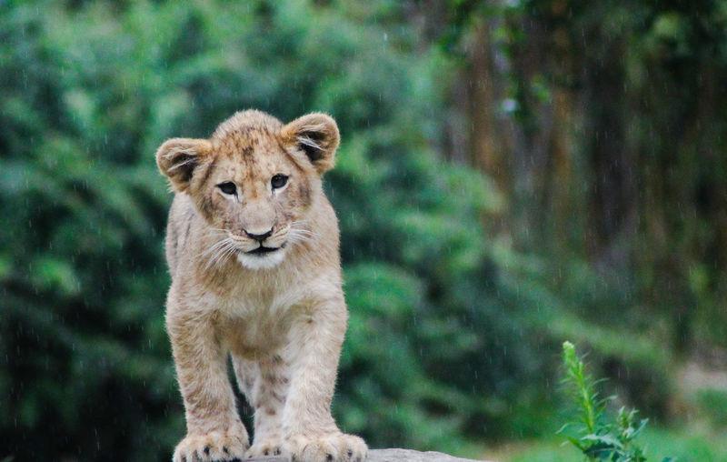 Portrait of a young lion