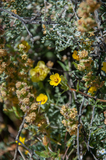 Anza Borrego Desert Flowers Plant Growth Flower Flowering Plant Vulnerability  Fragility Beauty In Nature Freshness Close-up Nature Day Selective Focus No People Focus On Foreground Yellow Tree Branch Petal Outdoors Leaf Flower Head Anza Borrego