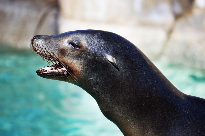 Profile view of seal at aquarium