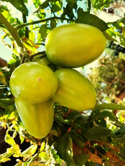 Green Tomatoes Organic Tomatoes Natural Lifestyle